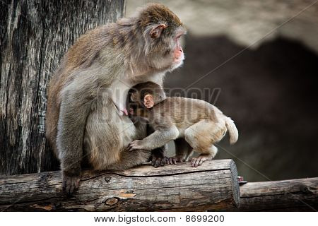 Macaco japonés, Macaca Fuscata
