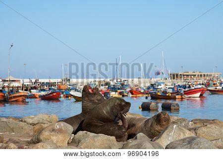 Sea Lions in Iquique Harbour