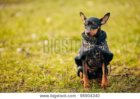 Black Miniature Pinscher Pincher
