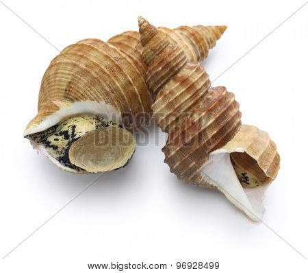 japanese whelk, lighthouse tsubu isolated on white background