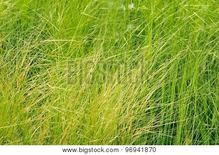 Stipa (lat. Stipa) - genus of perennial herbaceous plants monocots of the family of grasses.