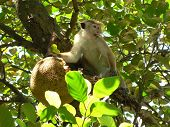 this is a scene of monket is eating a jack fruit. poster