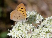 A Purplish Copper butterfly (Lycaena helloides) on Cow Parsnip flowers poster
