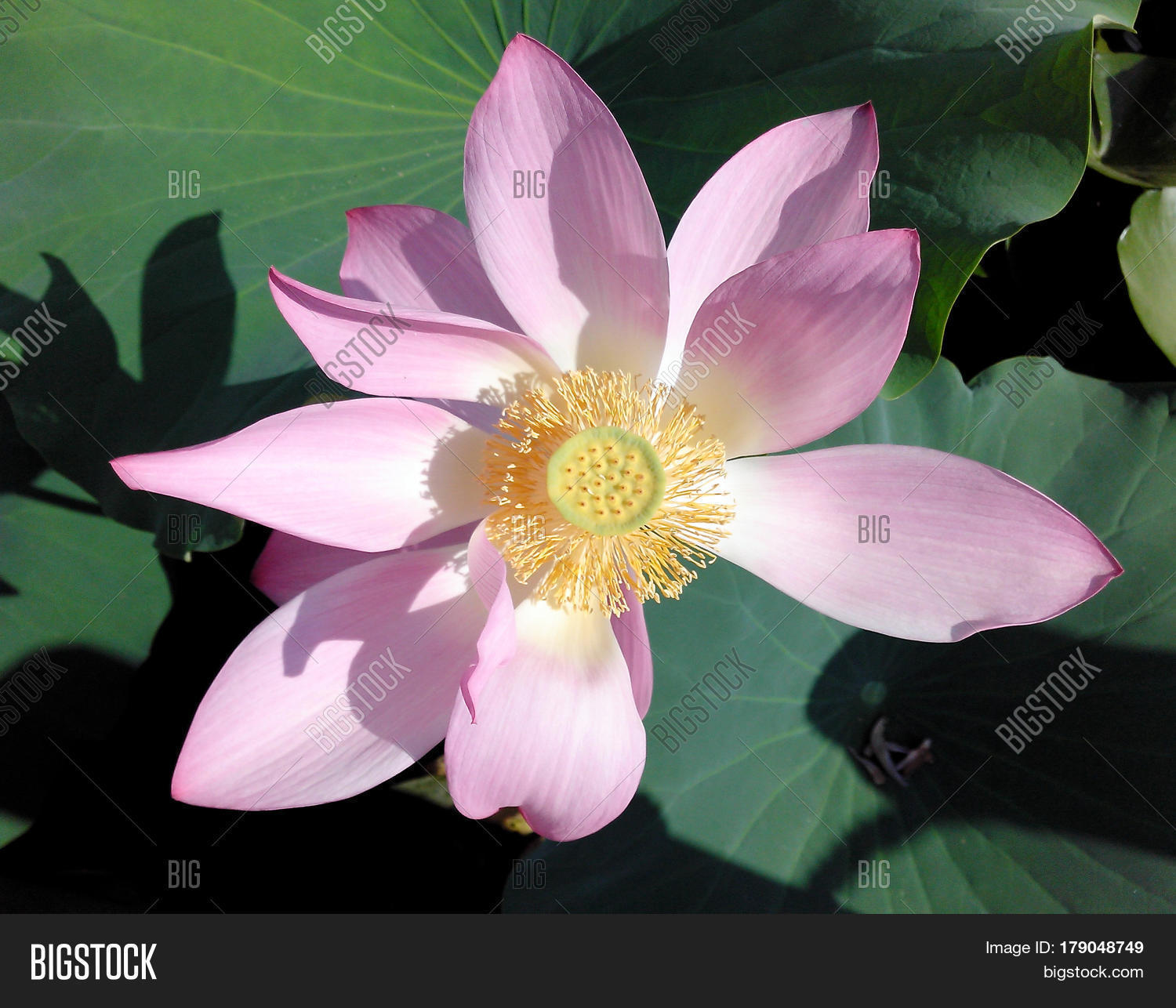 Lotus Blossom Flower Image Photo Free Trial Bigstock