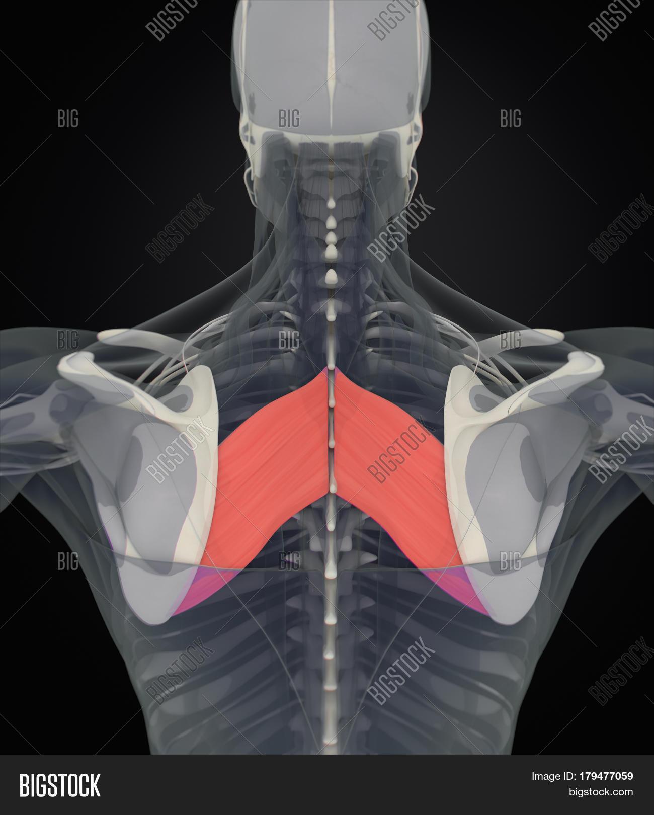 Anatomy Muscle Body. Image & Photo (Free Trial) | Bigstock