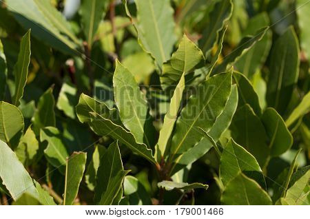 Image of green bay tree leaves / shoots (laurel / laurus nobilis) horizontal view