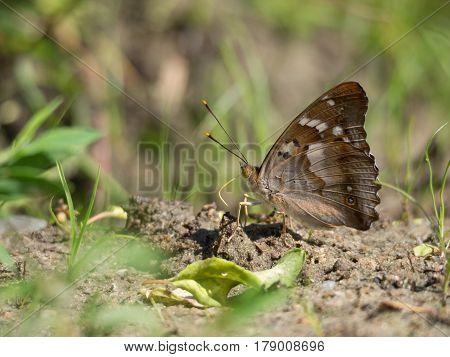 Lesser purple emperor Apatura ilia, nature animal close up