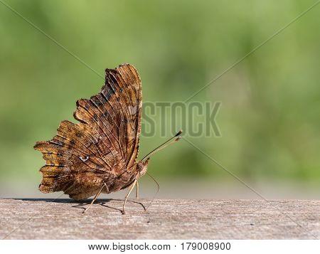 Comma Polygonia c-album, nature animal close up
