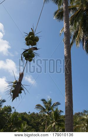 From the top of the palm tree on the rope drop the cut off coconuts to the ground.