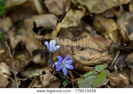 Violets Bloom