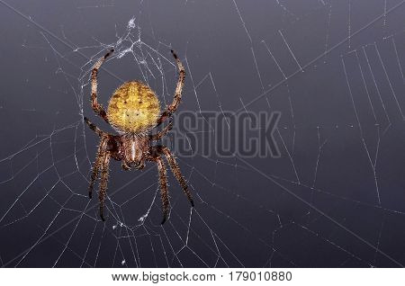A close-up of a Yellow Orb-Weaver Spider on a web with a grey background.