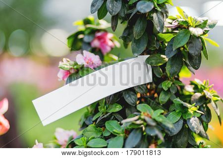 Natural background with blooming Azalea Indica Terra Nova. Spring sunny day in garden. Place for text.
