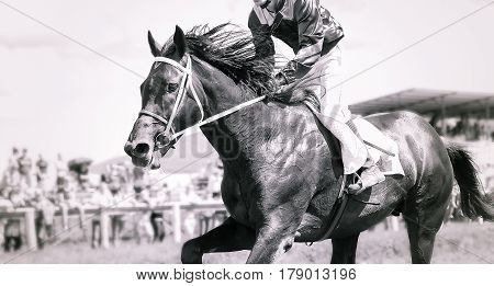 racing horse portrait in action on competition