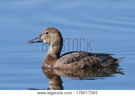 Common pochard swimming in blue water in its habitat