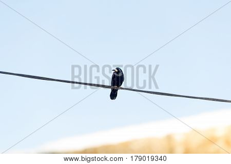 Crow Looking on a Cable wire. Solid sky background.