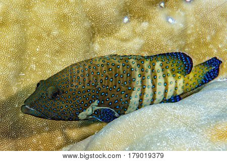 colorful grouper on the coral reef background