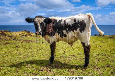 Veal On Easter Island Cliffs
