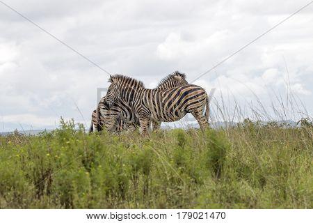 Zebras Grouped Together Resting On Green Grassland