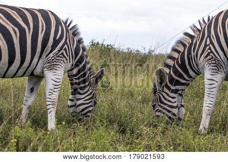 Two Zebras Grazing On Grassland Against Overcast Sky