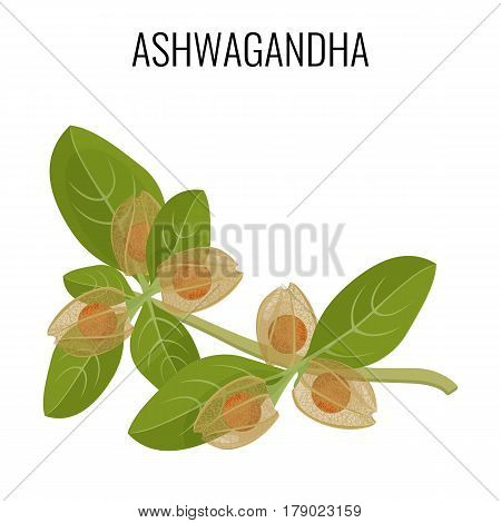 Ashwagandha ayurvedic herb isolated on white. Withania somnifera, known commonly as ashwagandha, Indian ginseng, poison gooseberry or winter cherry realistic vector illustration