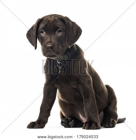 Puppy chocolate Labrador Retriever sitting, 3 months old , isolated on white