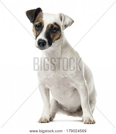 Jack Russell Terrier sitting, 11 months old , isolated on white