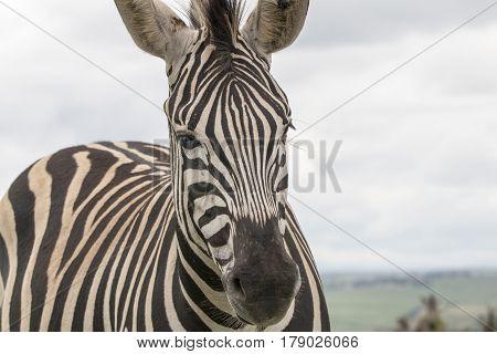 Single Zebra On Grassland Against Overcast Sky