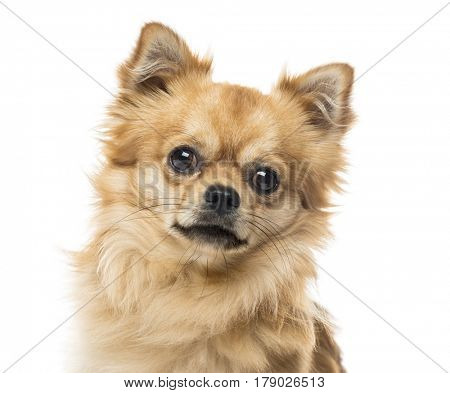 Close-up of a chihuahua, isolated on white, 2 years old