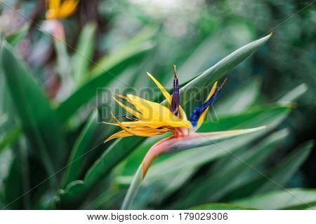 flower bird of paradise green background Strelitzia