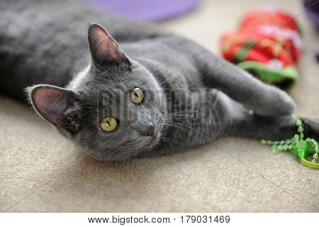 Korat cat playing with toy on carpet