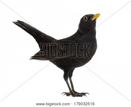 Blackbird Turdus merula , isolated on white