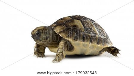 New born turtle, isolated on white