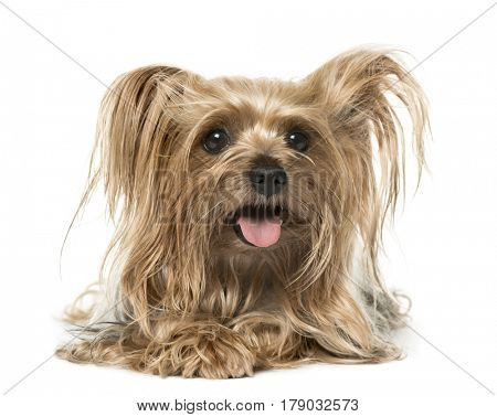 Yorkshire Terrier lying and panting, isolated on white