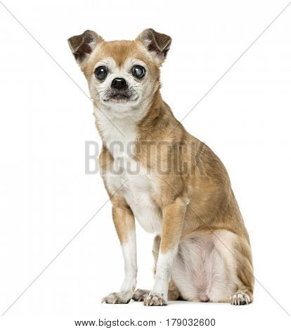 Chihuahua with eye disease sitting,12 years old, isolated on white