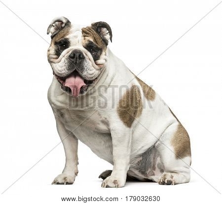 English Bulldog sitting and panting, 4 years old, isolated on white