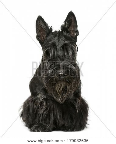 Scottish terrier sitting, 9 months old, isolated on white
