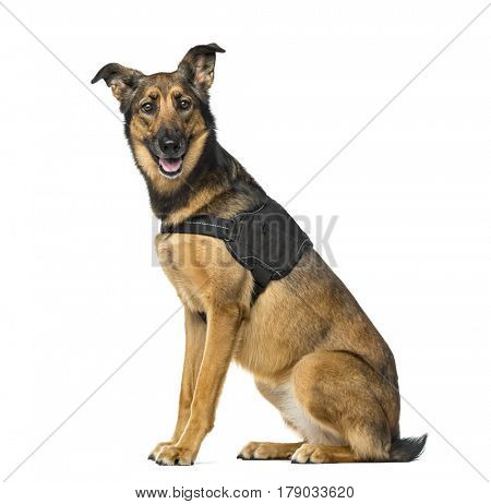 Belgian Shepherd Malinois with a security jacket sitting, 3 years old, isolated on white