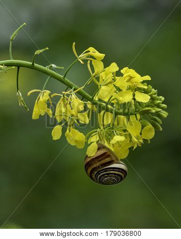 Little snail on a yellow flower in green background. Snail isolated in green background. Maltese flora and fauna.