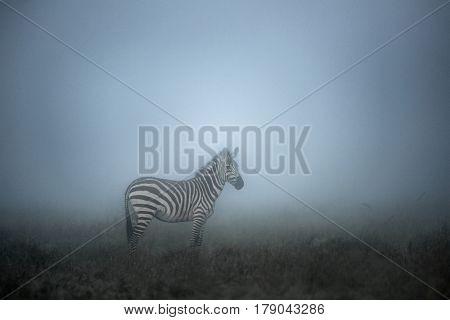 Zebra in the Morning mist, serengeti, Africa