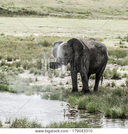 Elephant drinking in Serengeti National Park