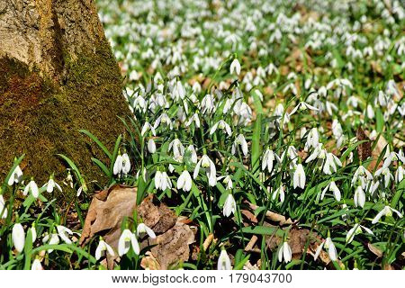 Amazing blooming snowdrops in a forest near a tree trunk. Snowdrop