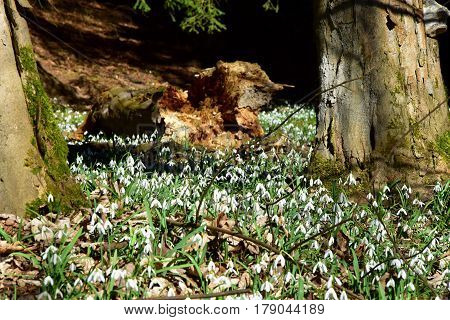 Amazing blooming snowdrops in a forest near a tree trunk. Snowdrops