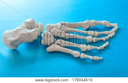 bones of the human foot on light blue background
