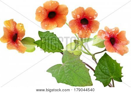 Orange Thunbergia Alata Sunrise flower vines isolated on white background