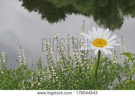 Single daisy flower by the pond in summer time
