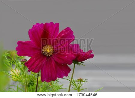Sonata Cosmos Bipinnatus Flower over gray background