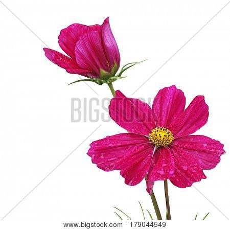 Dark Magenta Sonata Cosmos Bipinnatus Flowers isolated on white background