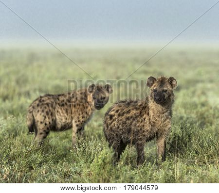Hyenas looking away in Serengeti National Park