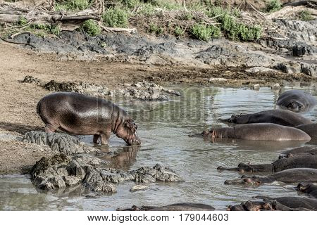 Hippopotamus drinking in river in Serengeti National Park