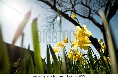 Spring daffodils. Low angle view of flowering daffodils set against a bright Spring sun.